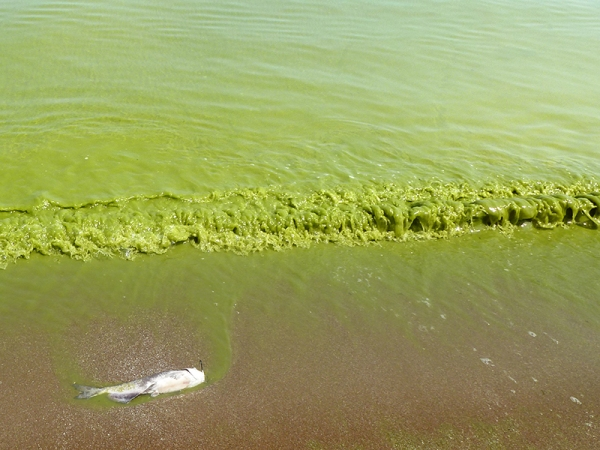 Lake Erie algal blooms, August 2011