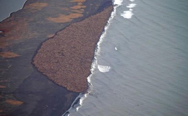 Walrus Mass Stranding