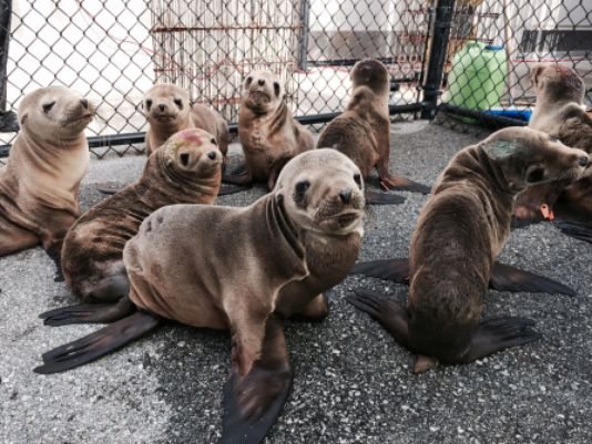 Starving Sea Lion Pups