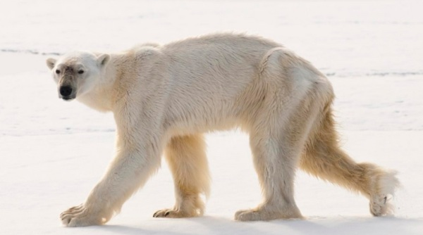 Gaunt and Emaciated Polar Bear that Broke Diving Record