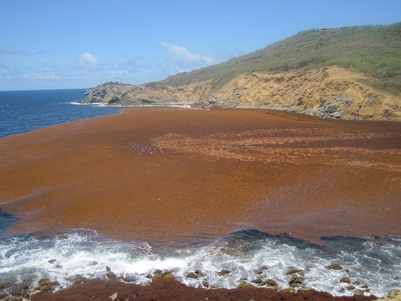 Massive Sargassum Seaweed Bloom is Choking The Caribbean