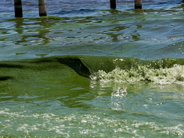 Algae bloom Florida