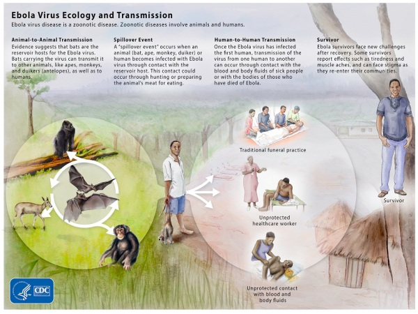 Ebola Jungle Ecology CDC