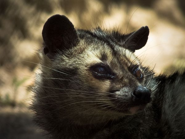 Himalay_Palm_Civet